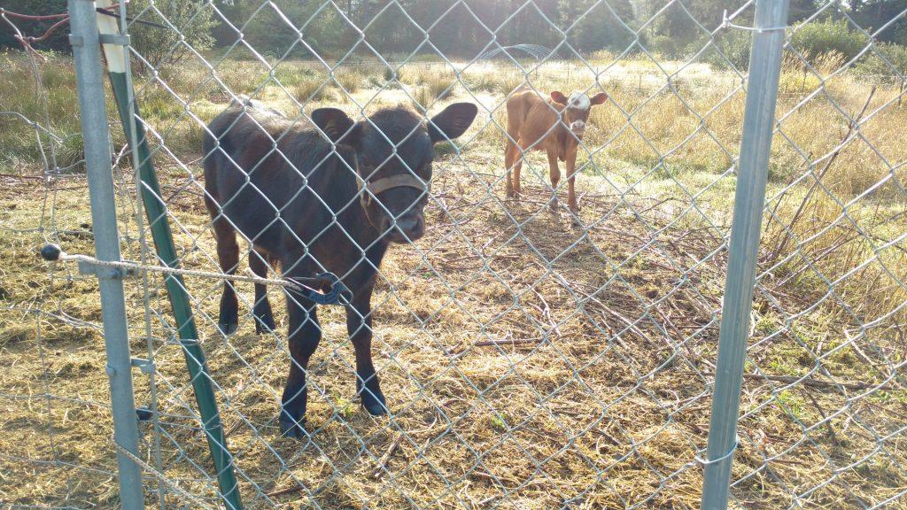 子牛たちはかわいい