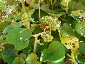 ツワブキの花芽
