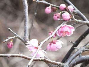 梅の花:2012年3月3日