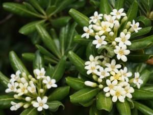 室戸岬散策:ジャスミンのような香りの花
