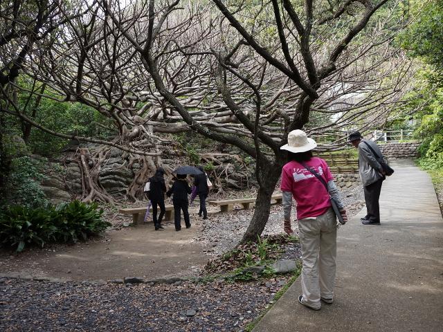 室戸岬散策:アコウ樹とジオパークのガイドさん