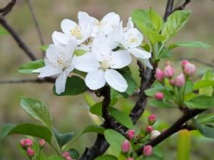 姫リンゴの花20150408