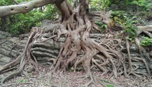 室戸岬散策:アコウ樹