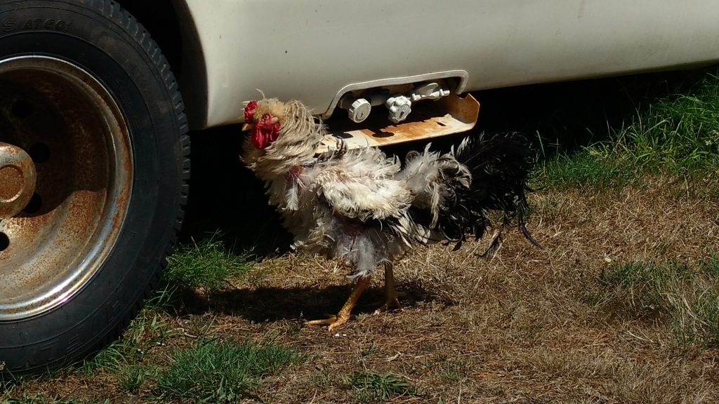 雄鶏が出てきた