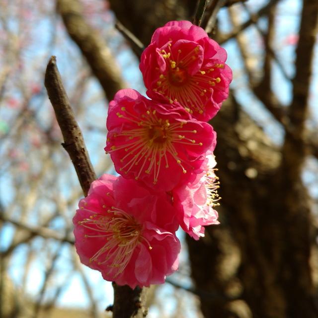 梅の花20180208