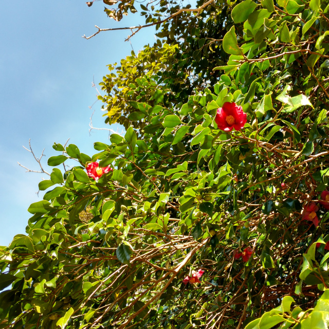 椿も花盛り
