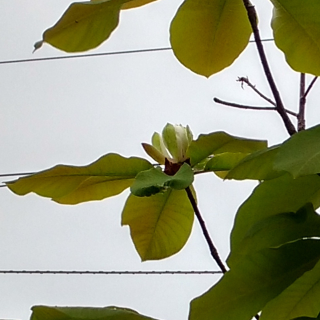 朴の花 20190423